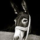 Hungarian Donkey by Katelyn Stephenson