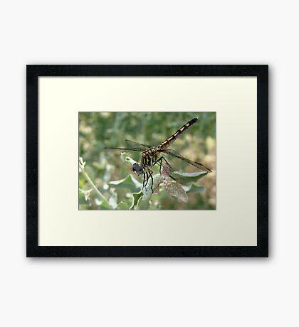 Dragonfly ~ Blue Dasher (Female) Framed Print