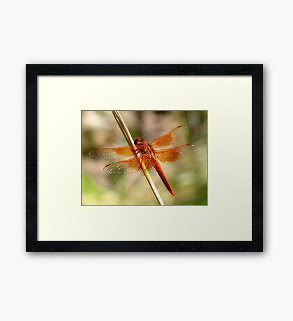 Dragonfly ~ Flame Skimmer (Male) Framed Print