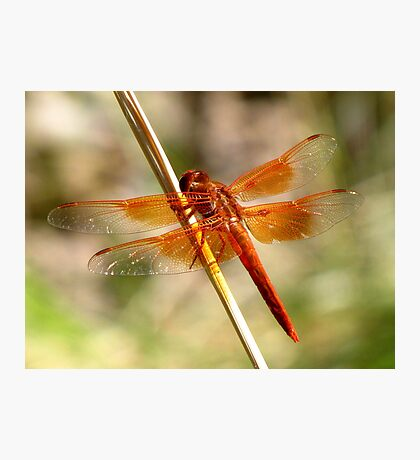 Dragonfly ~ Flame Skimmer (Male) Photographic Print