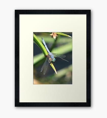 Dragonfly ~ Blue Dasher (Male) Framed Print