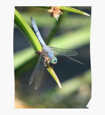 Dragonfly ~ Blue Dasher (Male) Poster