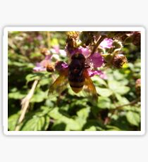 Belted Hoverfly Sticker