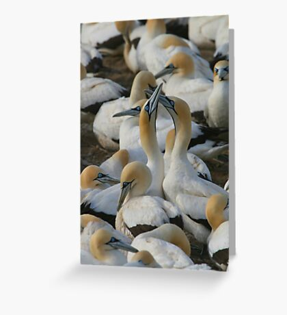 Cape Gannets Greeting Card