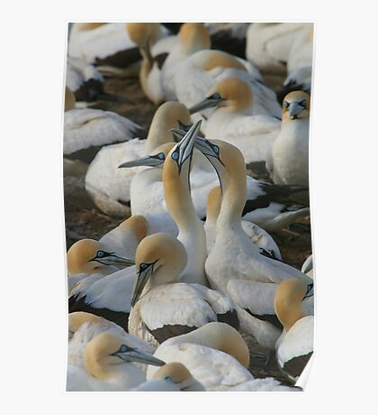 Cape Gannets Poster