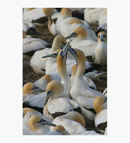 Cape Gannets Photographic Print