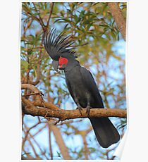 Palm Cockatoo Poster