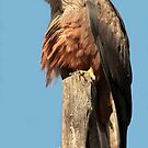 Black Kite by Robert Abraham