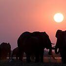 Sundown Elephants, Chobe River, Botswana by Neville Jones