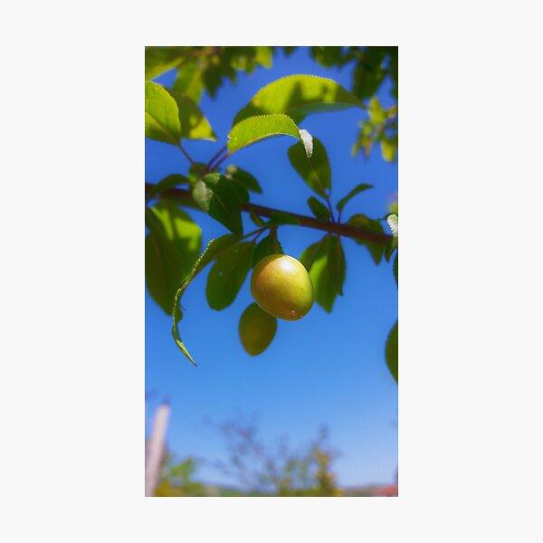 One Olive Photographic Print