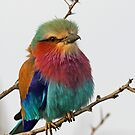 Another Beautiful Lilac Breasted Roller by Anthony Goldman