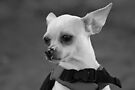 Where ever there are wrongs to be righted, Chihuahua will be there by Corri Gryting Gutzman
