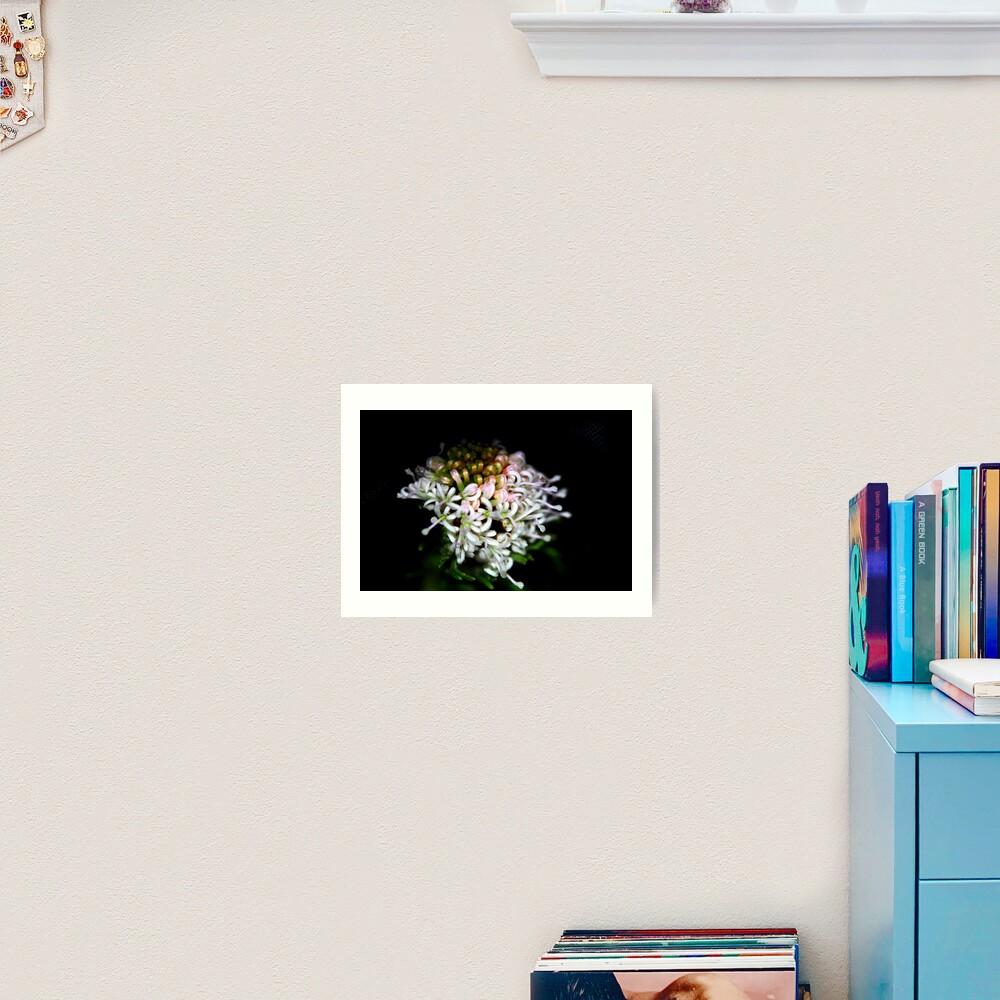 Grevillea crithmifolia  Art Print