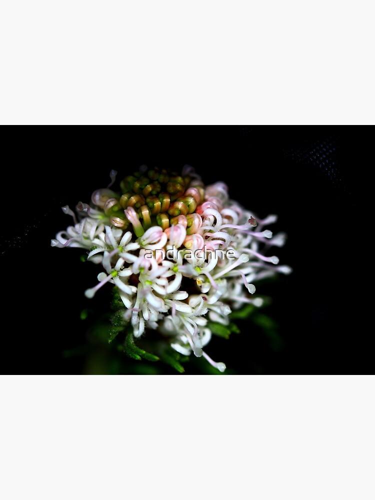 Grevillea crithmifolia  by andrachne