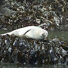 Napping Harbor Seal on the Oregon Coast by Chrissy Ferguson