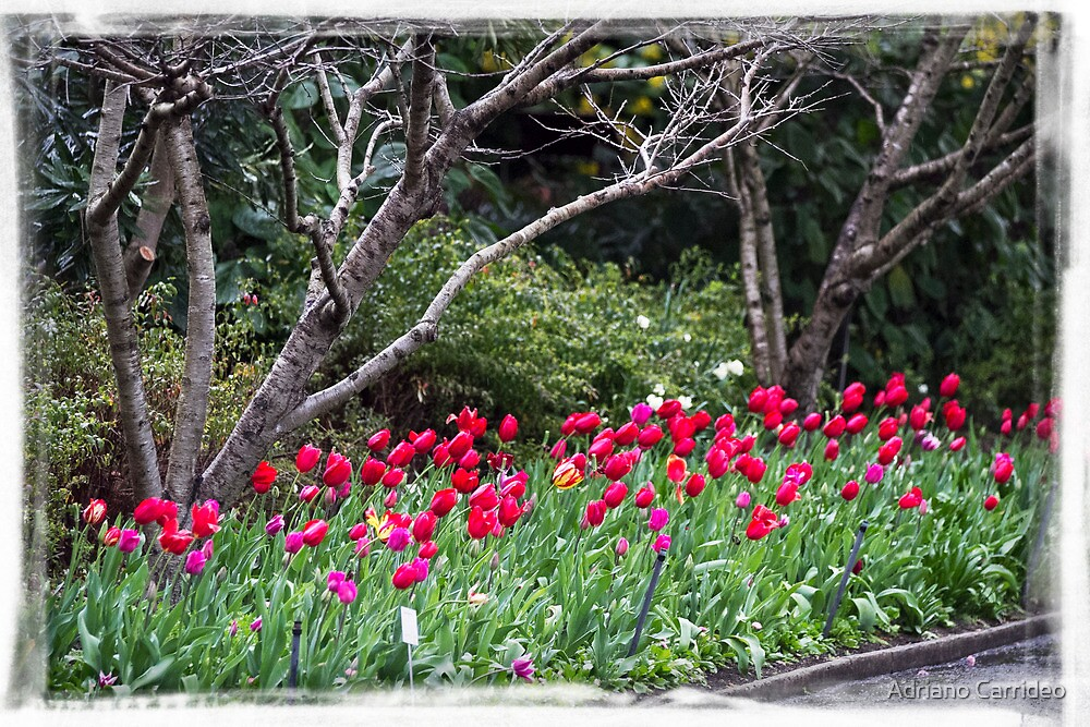 Spring bulbs by Adriano Carrideo
