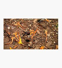 Halloween  black widow spider Photographic Print
