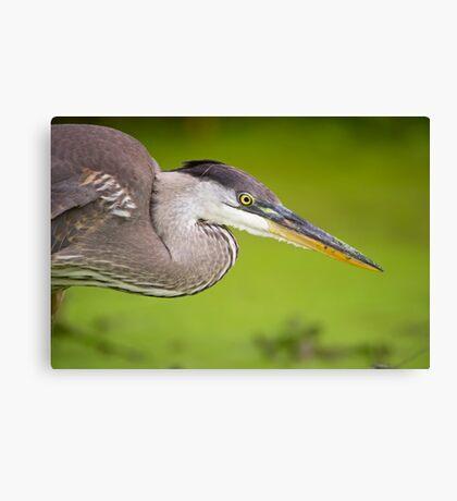 Blue Heron Portrait Canvas Print