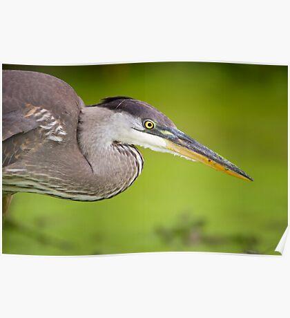 Blue Heron Portrait Poster