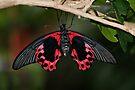 Scarlet Mormon Butterfly by Sandy Keeton