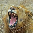 Eyerfield lion showing its teeth by Anthony Goldman
