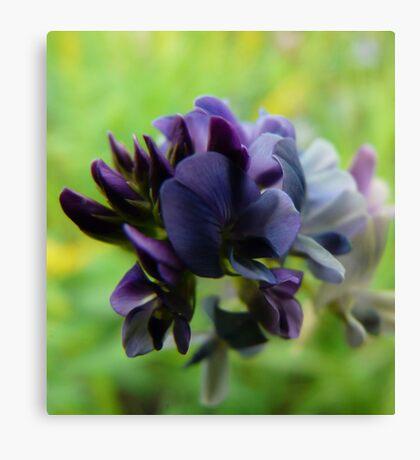 Purple Alfalfa Blossom Canvas Print