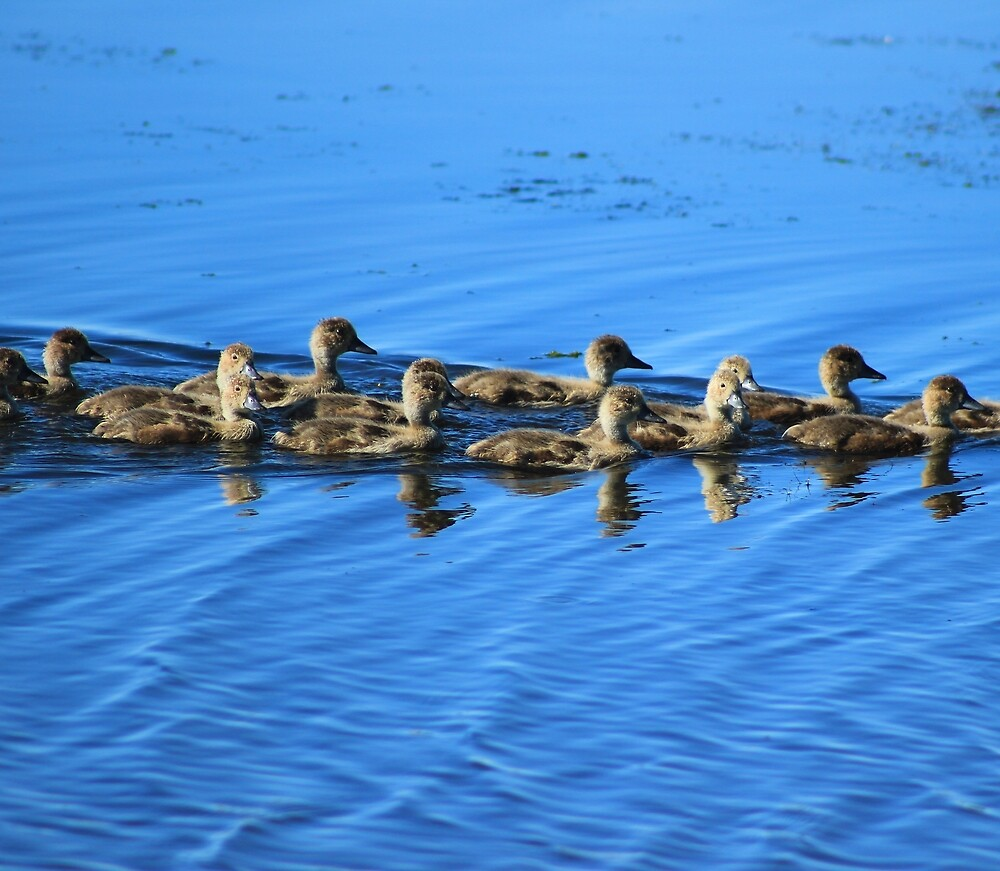 Swimming Ducklings by rhamm