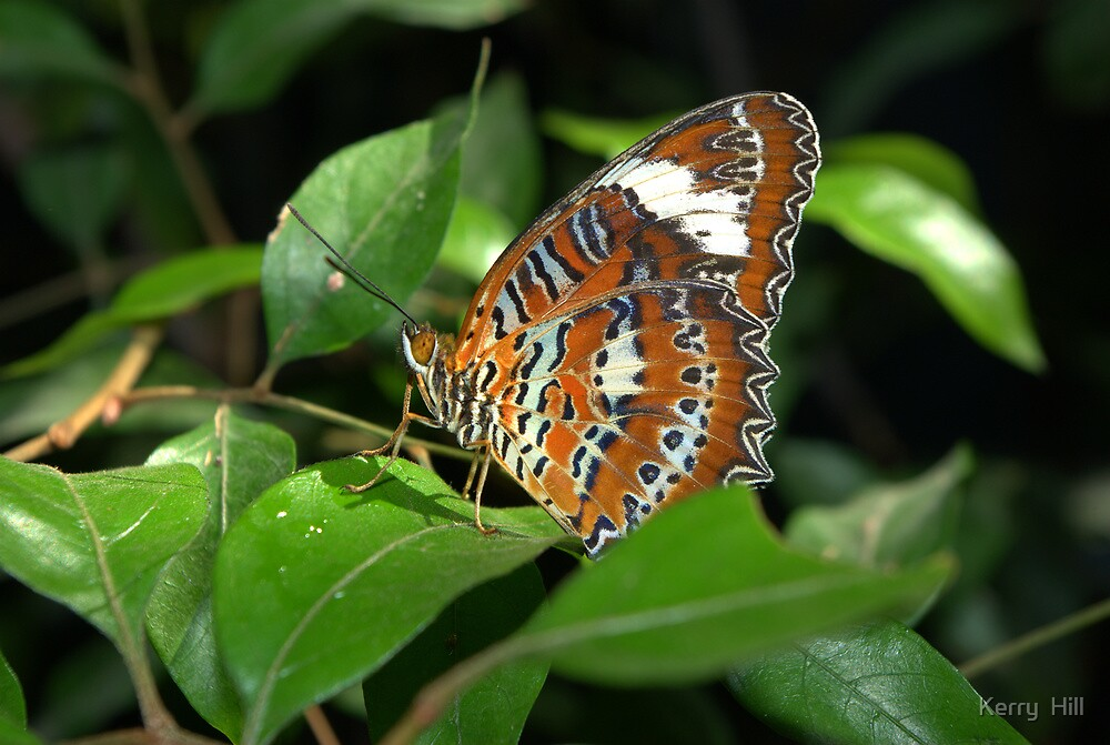 Butterfly by Kerry  Hill