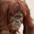 Orangutan  by Tom Newman