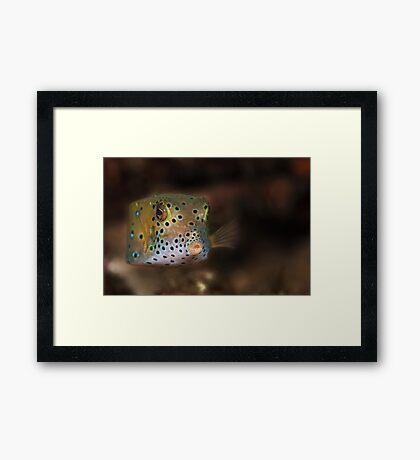 Box fish - Lembeh Straits  Framed Print