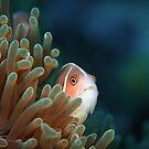 Skunk anemone fish - Lembeh Straits  by Stephen Colquitt