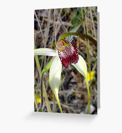 Spider Orchid - Growing wild, Wongan Hills, Western Australia Greeting Card