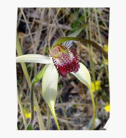 Spider Orchid - Growing wild, Wongan Hills, Western Australia Poster