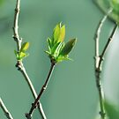First Baby Leaves On The Syringa Tree by hurmerinta