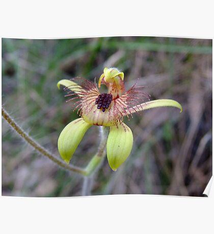 Bee Orchid - Growing wild, Wongan Hills, Western Australia Poster