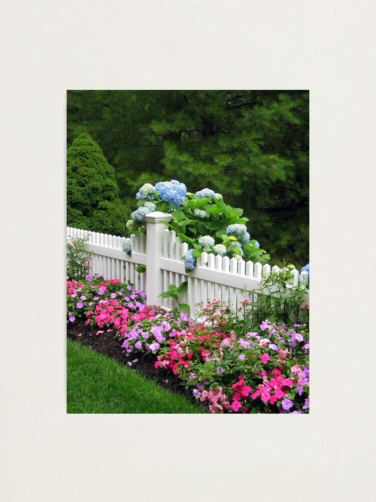 Alternate view of BLUE MOPHEADS HUGGING CAPE COD FENCE Photographic Print