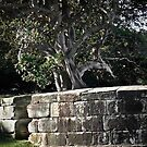 Stone wall and fig by Adriano Carrideo