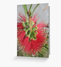 Red Bottlebrush Flower Greeting Card