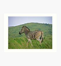 Burchells zebra Art Print