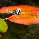 Snail on Lilypad by Tracy Riddell