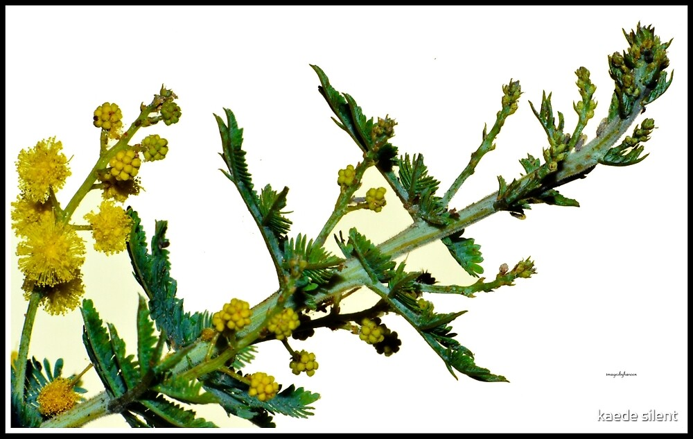 wattle buds by imagesbyhanson