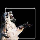 Lemur Catta by Marek Novotnak