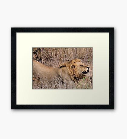 HMMM TIME TO MOVE ON - THE LION – Panthera leo Framed Print