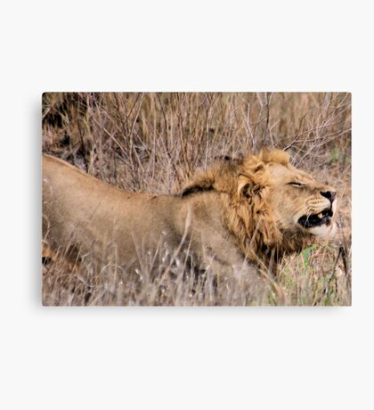 HMMM TIME TO MOVE ON - THE LION – Panthera leo Canvas Print