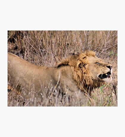 HMMM TIME TO MOVE ON - THE LION – Panthera leo Photographic Print