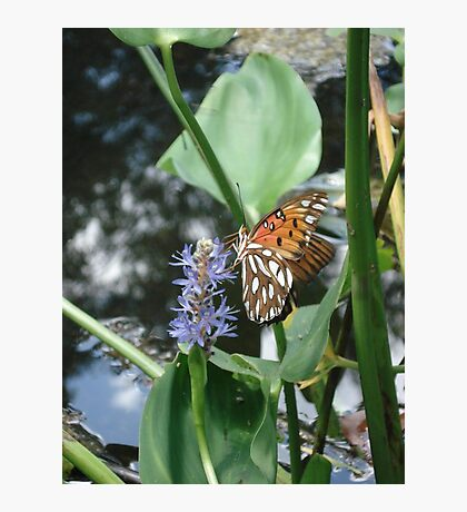 GULF FRITILLARY ON PICKEREL WEED Photographic Print