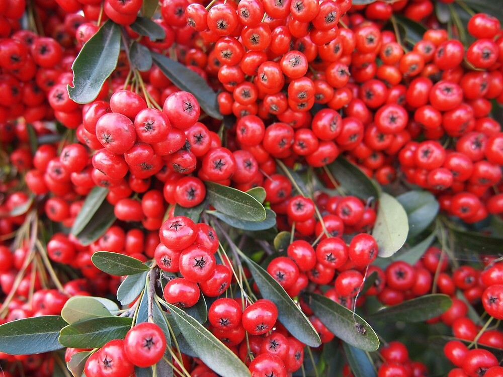 Pyracantha Fruit from A Gardener's Notebook by Douglas E.  Welch