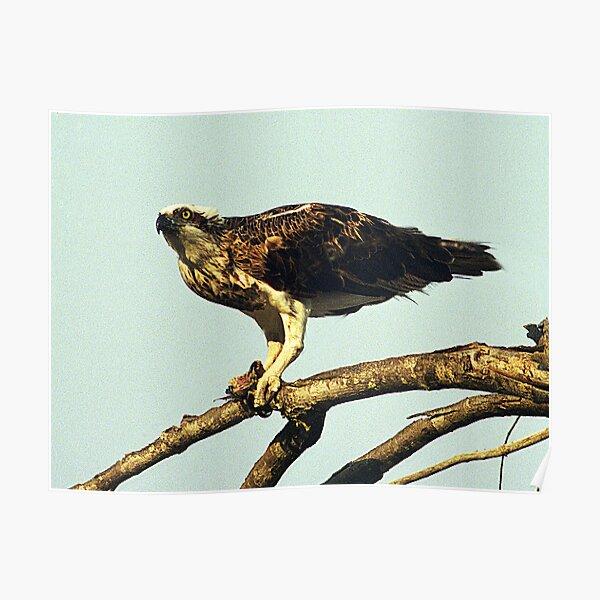Osprey - Hervey Bay, Queensland Poster