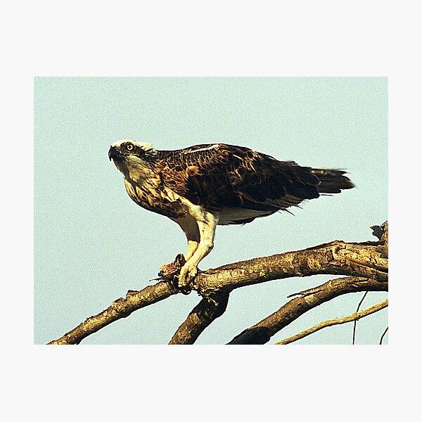 Osprey - Hervey Bay, Queensland Photographic Print