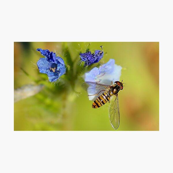 Hoverfly  / Episyrphus balteatus Photographic Print